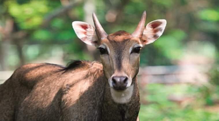 National Zoological Park in Delhi, nigai death National Zoo Delhi, National Zoo Delhi nilgai death, MoEF nilgai death inquiry, delhi news,