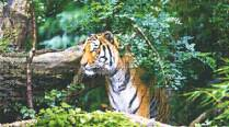 Down in Jungleland: Tiger in Your Backyard
