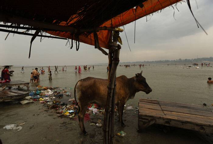 A cow stands on the banks as Hindu devotees take ritualistic holy dip at Sangam, the confluence of rivers the Ganges and the Yamuna in Allahabad on Tuesday. The confluence is considered one of Hinduism's holiest sites. (Source: AP)