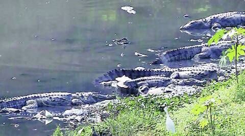 Crocodiles on the banks of the Vishwamitri.Source: Express