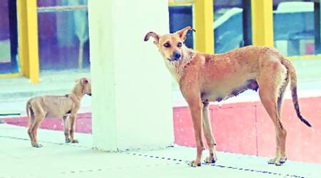 The team will table a report on the stray dog menace at the  general house meeting of the corporation to be held later this month. (Express)