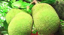 JD(U) MP's two jackfruits go missing, Delhi Police form special team to nabthieves