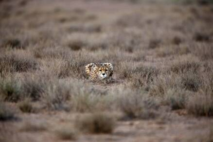 Iran tries to save Asiatic cheetah from extinction