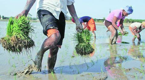 Labourers at a paddy plantation in Kutbewal village of Ludhiana. ( Express photo by Gurmeet Singh )