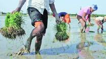 With onset of paddy season, farmers try to woo 'missing' labourers with added attractions