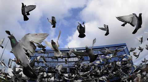 Morning walkers at Nehru Rose Garden were in for a horrendous surprise on Friday morning when carcass of numerous pigeons were scattered all around the place. (Source: Reuters photo)