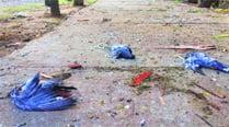 Pigeons found dead in Rose Garden; MC orderspost-mortem