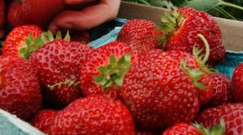 Strawberries  are perfect for smoothies with a little yoghurt, banana and orange juice. Source: Indian Express Archive