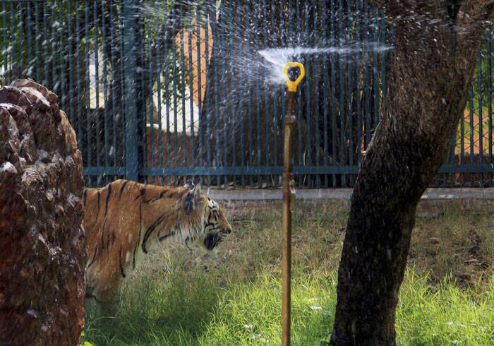 A tiger is seen standing under a water sprinkler in a zoo to get respite from the heat as temperature soars in Jaipur on Friday. (Source: PTI)