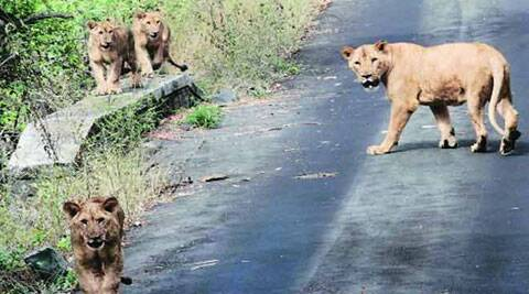 The ambitious Rs 27-crore plan to develop Mattewara into an open safari for visitors including a lion safari is waiting for approval.