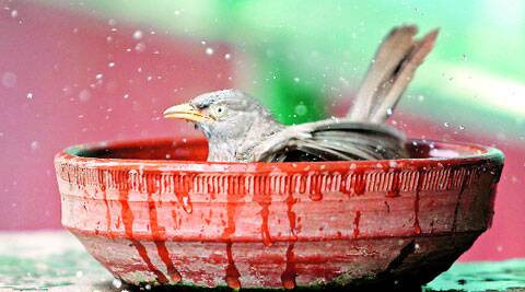 Cool, cooler, coolest: A bird beats the heat in Chandigarh on Friday. (Source: Express photo by Sumit Malhotra)