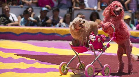 Circus dogs perform during a free public show to protest Mexico City's ban on circus animals. (Source: AP)