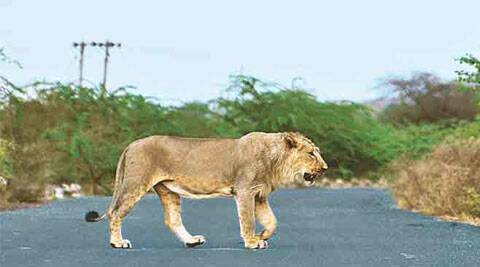 The government is also disseminating information, seeking co-operation of locals in lion conservation.