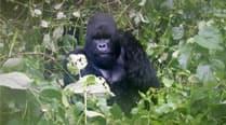 gorilla-thumb