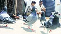 Fights, extortion and now murder: Dark side of Pune's pigeon keepers