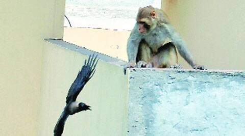 Monkey injures 3 kids in Jalandhar bypass area, trapped