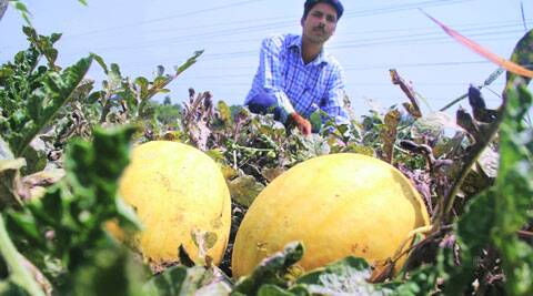A scientist with the yellow watermelons at PAU in Ludhiana. (Source: Express photo by Gurmeet Singh)