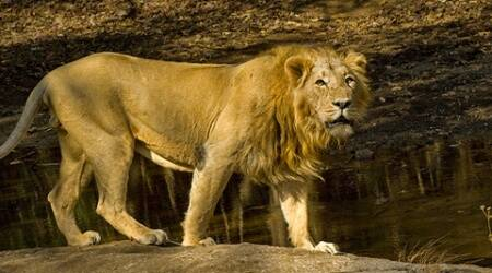 Asiatic lion dies after falling intowell