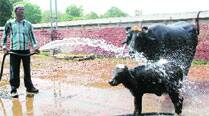 Through CM's buffalo, an Indo-Pak amalgamation of the cattle kind