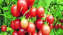 Soon, Punjab to get 'healthier, juicier'tomatoes