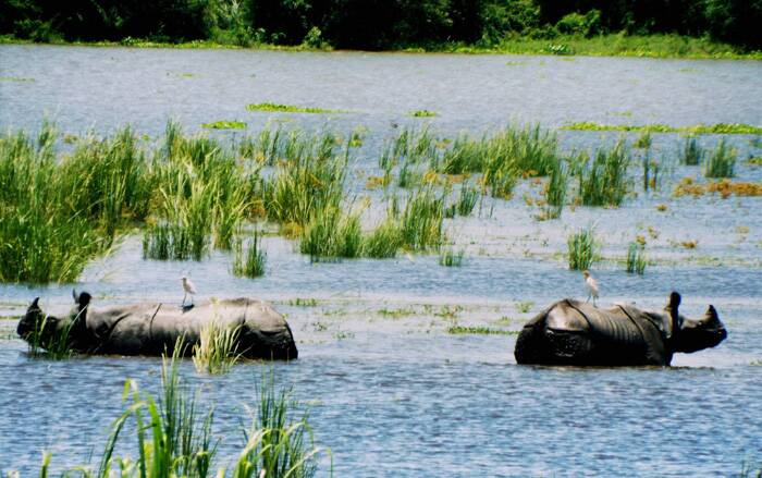 Rhinoceros standing in submerged fields at flooded Kaziranga National Park in Assam on Sunday. (Source: PTI)