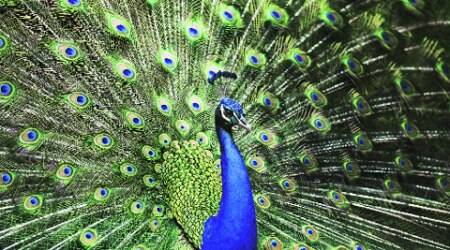 Three Army jawans hunt down, skin two peacocks for 'feast', probe on
