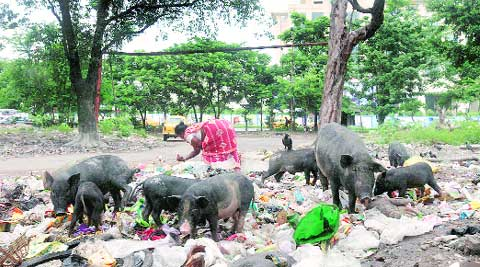 Despite a government order to quarantine stray pigs, the animals can be seen foraging freely in garbage dumps across Kolkata. (Source: Express photo by Partha Paul)