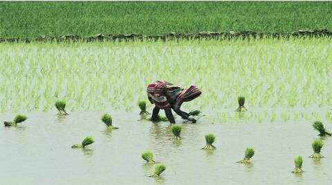Of 42.70 lakh hectares cultivated for rice, transplantation of paddy has been made possible on 38.5 lakh hectares.