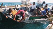 412 Whale Sharks rescued in Gujarat in 10 years
