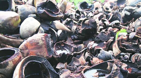 Discarded coconut shells filled with stagnant water can be a breeding ground for dengue mosquitoes.