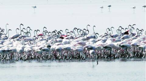 Flamingos in Kutch, where new roads could disturb them.Source: Express file photo