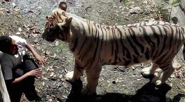 An irate White Tiger staring at a student after he fell in its enclosure at the Delhi Zoo on Tuesday. The Tiger killed him later. (Source:  PTI Photo)