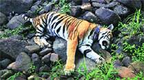 Panna tigress dies in acollar