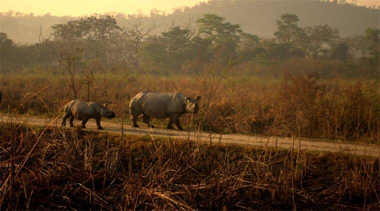 Kaziranga National Park, Kaziranga rainfall, Kaziranga Assam, Assam Heavy rainfall, Heavy rainfall, assam news, india news, indian express