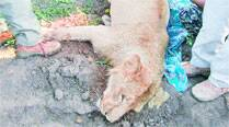 Lion electrocuted on Bhavnagar farm
