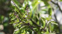 Ten health benefits of Tulsi, the magical herb