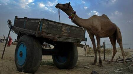 Interactive: Ride to the annual Pushkar Cattle Fair