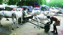 Cattle thieves get lessons in cow care and long jailterms