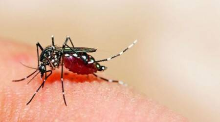 Fighting mosquito with mosquito: A GM-size bite against dengue