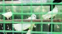 Exotic pigeons that Yadav kept has everyonetalking