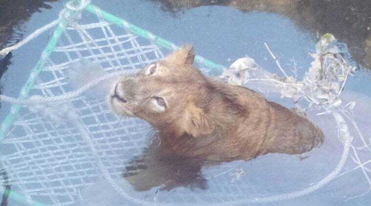 The lion trapped in a well.