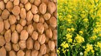 Madhya Pradesh says no to field trials for genetically modified chickpea and mustard