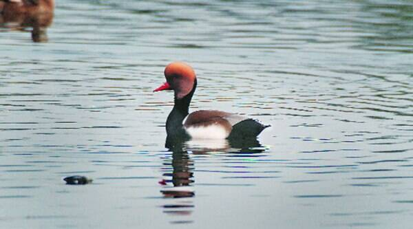 FLOATING ALONG | A red-crested pochard
