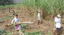 Sugarcane dues: HC issues contempt notices to 10 DMs