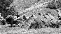 How vultures dine on rotting flesh? They have theguts