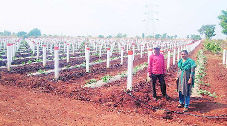 Rohit Vasava, a tribal farmer with a large land holding in Dediapada, planted as many as 5,000 dragon fruits in August this year. (Source: Express photo)