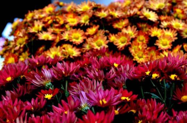 Most popular garden variety (Source: Swasti Pachauri)