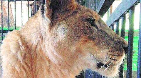 Jimmy was the last surviving big cat at the zoo