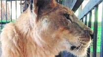 Jimmy, 16-yr-old lioness at Byculla zoo,dies