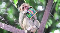 Residents blamed for rise in monkey menace